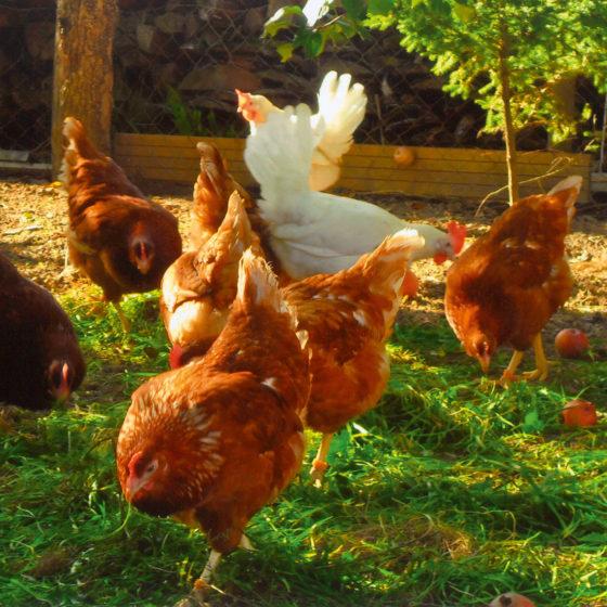 Die EIER für den gasthof Goldener Stern legen die glücklichen Freilandhühner der Familie Treffler aus Rinnenthal und unsere eigenen Hühner.